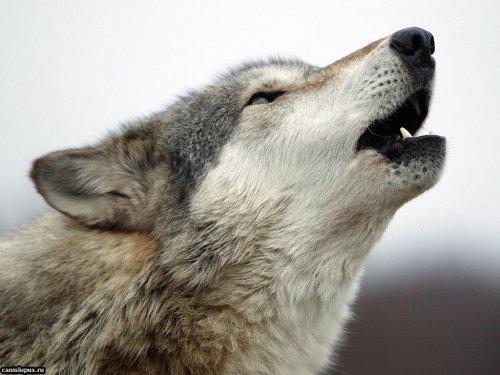 Волк приснился