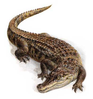 Приснился крокодил во сне по соннику