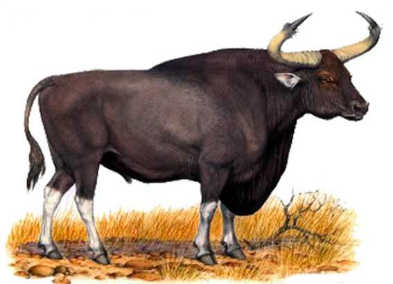 приснился бык