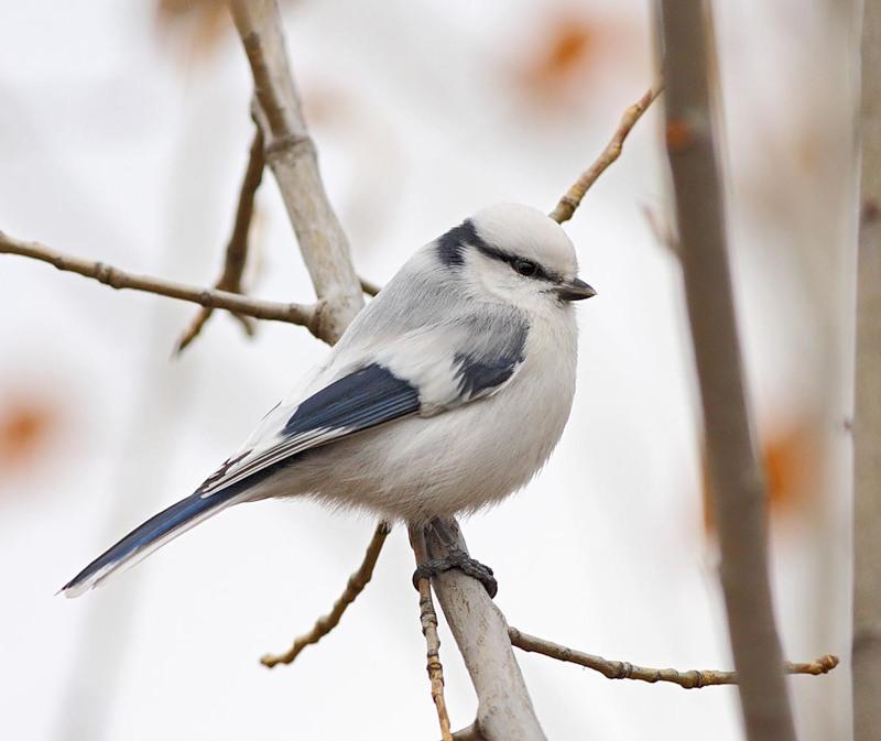 Сонник нападение птиц